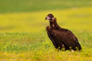 Abutre-preto | Black Vulture (Aegypius monachus)