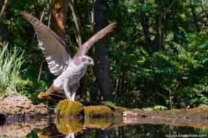 Açor | Goshawk (Accipiter gentillis)