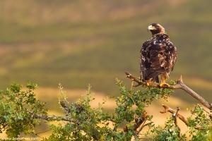 Águia-imperial-ibérica | Spanish Imperial Eagle (Aquila adalberti)