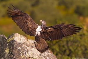 Águia-perdigueira | Bonelli's Eagle (Aquila fasciata)