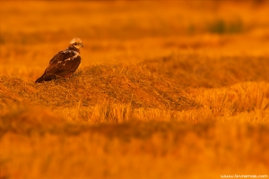 Águia-sapeira | Marsh Harrier (Circus aeruginosus)
