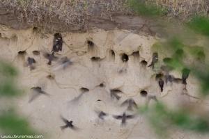 Andorinha-das-barreiras | Sand Martin (Riparia riparia)