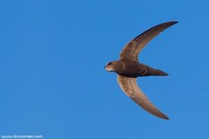 Andorinhão-pálido | Pallid Swift (Apus pallidus)