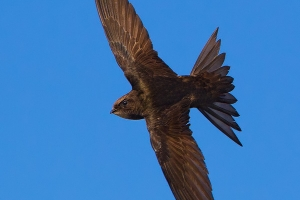 Andorinhão-preto | Swift (Apus apus)
