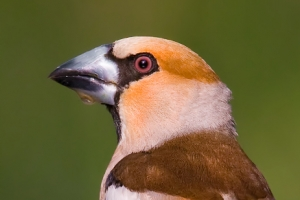 Bico-grossudo | Hawfinch (Coccothraustes coccothraustes)