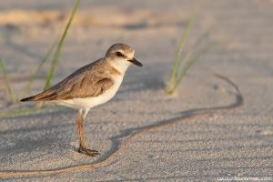 Borrelho-de-coleira-interrompida | Kentish Plover (Charadrius alexandrinus)
