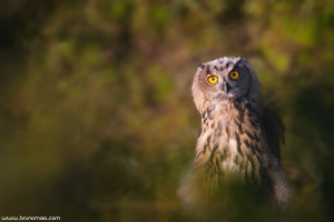 Bufo-real | Eagle Owl (Bubo bubo)