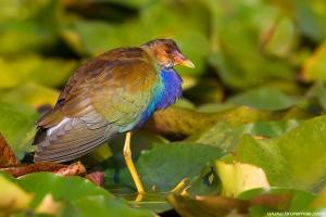 Camão-americano | Purple Gallinule (Porphyrio martinicus)