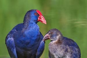 Camão | Purple Gallinule (Porphyrio porphyrio)
