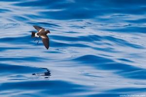 Casquilho | Wilson's Storm Petrel (Oceanites oceanicus)