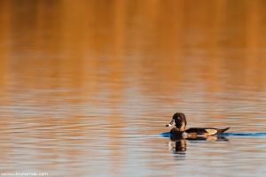 Caturro | Ring-necked Duck (Aythya collaris)
