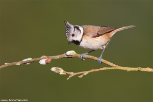 Chapim-de-poupa | Crested tit (Parus cristatus)