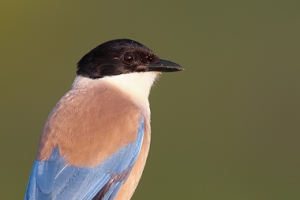 Charneco | Azure-winged Magpie (Cyanopica cyana)