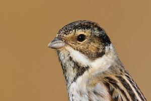 Escrevedeira-dos-caniços | Reed bunting (Emberiza schoeniclus)