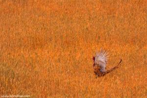 Faisão | Common Pheasant (Phasianus colchicus)