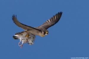 Falcão-peregrino | Peregrine Falcon (Falco peregrinus)