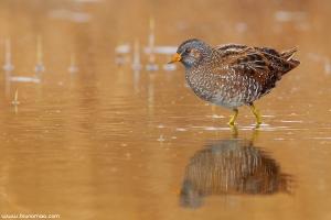 Franga-d\'água-grande | Spotted Crake (Porzana porzana)