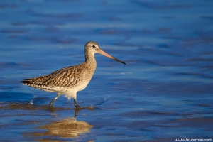 Fuselo | Bar-tailed Godwit (Limosa lapponica)