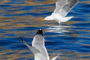Gaivota-de-patas-amarelas | Yellow-legged Gull (Larus michahellis)