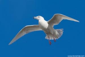 Gaivotão-branco | Glaucous Gull (Larus hyperboreus)