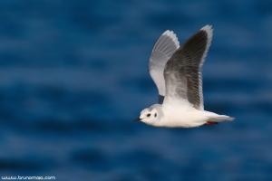 Gaivota-pequena | Little Gull (Larus minutus)