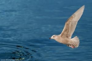 Gaivota-polar | Iceland gull (Larus glaucoides)