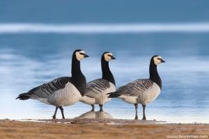 Ganso-marisco | Barnacle Goose (Branta leucopsis)