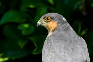 Gavião | Sparrowhawk (Accipiter nisus)