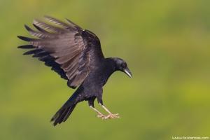 Gralha-preta | Carrion Crow (Corvus corone)