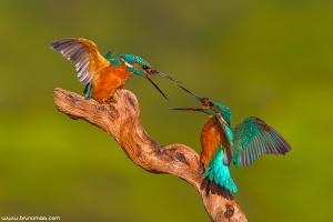 aves | birds