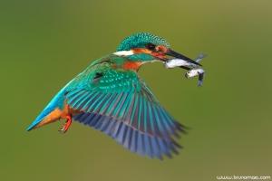 Guarda-rios | Kingfisher (Alcedo atthis)