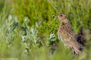 Laverca | Skylark (Alauda arvensis)