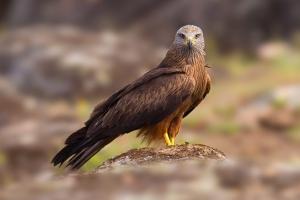 Milhafre-preto | Black Kite (Milvus migrans)