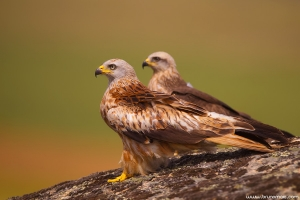 Milhafre-real | Red Kite (Milvus milvus)