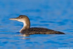 Mobelha-grande | Great Northern Loon (Gavia immer)