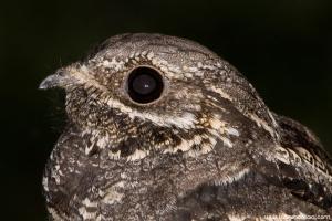 Noitibó-cinzento | Nightjar (Caprimulgus europaeus)