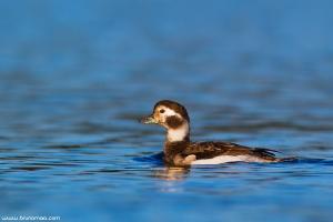 Pato-rabilongo | Long-tailed Duck (Clangula hyemalis)