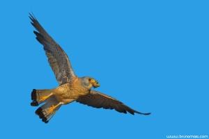 Francelho | Lesser Kestrel (Falco naumanni)