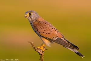 Peneireiro | Eurasian Kestrel (Falco tinnunculus)