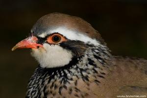 Perdiz | Red-Legged Partridge (Alectoris rufa)