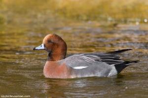 Piadeira | Wigeon (Anas penelope)