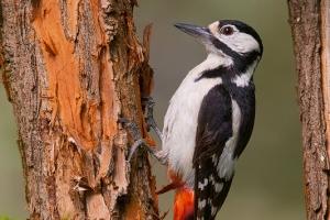 Pica-pau-malhado-grande | Great Spotted Woodpecker (Dendrocopos major)