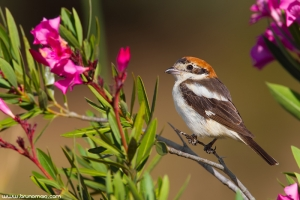Picanço-barreteiro | Woodchat Shrike (Lanius senator)