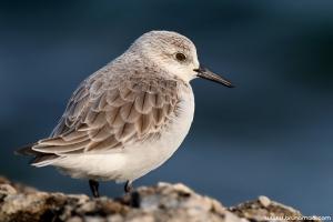 Pilrito-das-praias | Sanderling (Calidris alba)