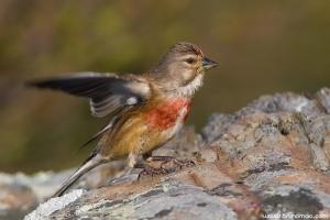 Pintarroxo | Linnet (Carduelis cannabina)