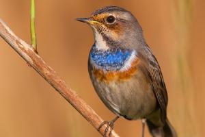 Pisco-de-peito-azul | Bluethroat (Luscinia svecica)