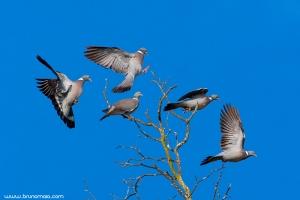 Pombo-torcaz | Woodpigeon (Columba palumbus)