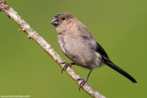 Priolo | Azorean Bullfinch (Pyrrhula murina)
