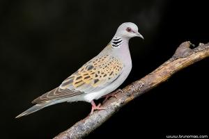 Rola-brava | Turtle Dove (Streptopelia turtur)