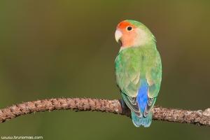 Rosicolor | Peach-faced Lovebird (Agapornis roseicollis)